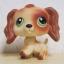 สุนัข Cocker Spaniel สีน้ำตาล ตาสีเขียว thumbnail 1